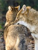 pic of jackal  - Golden jackals (Canis aureus) in a forest