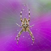 Closeup Of An European Garden Spider At Purple Background