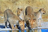 image of veld  - Pride of lions drinking from a waterhole with reflection - JPG