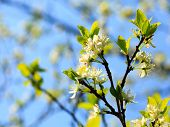 Nature. White Blossoms On The Branch Of Apple Tree