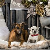 Chihuahua and Italian greyhound in front of a rustic background