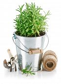 Bush rosemary in iron bucket with garden tools. Isolated on white background
