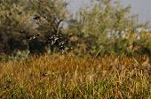 Flock Of Ring-necked Ducks Flying Through The Autumn Marsh