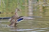 Female Mallard Duck With Outstretched Wings