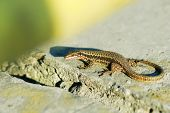 Alive Wall Lizard