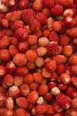 Wild Strawberries Background