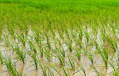 Young Rice Ready to Growing