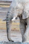 White African Elephants On Etosha