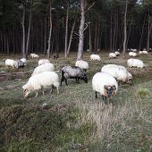Flock Of Sheep And Pine Forest