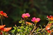 Delosperma  a Succulent Garden Plant