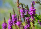 Purple Loosestrife Wild Flower Spikes