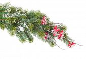 Christmas snow fir tree branch with holly berry. Isolated on white background