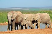 African elephants (Loxodonta africana) at a waterhole, Addo Elephant National Park, South Africa
