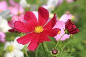 Cosmos flowers and bud