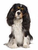 Cavalier King Charles Dog, 14 Months Old, Sitting In Front Of White Background