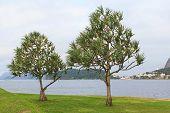Common Screwpine (pandanus Utilis) Pine Monocot Tree Near Water In Brazil