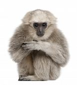 Joven pileatus Gibbon, 1 año, Hylobates Pileatus, sentado frente a fondo blanco