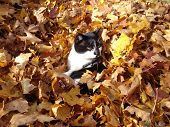 Cat in autumn leaves