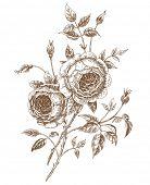 Hand-drawn english roses. Vector illustration.