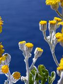 Beautiful yellow flowers with gray stems and pure blue water in the background