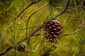 Pine cone green background