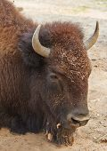 Head Of Laying Bison