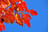 Bright Autumn Leaves Against The Blue Sky.