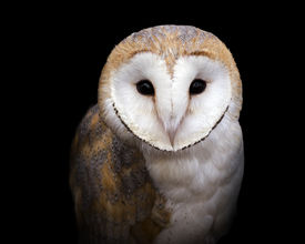 pic of owl eyes  - closeup portrait of a barn owl on a black background - JPG