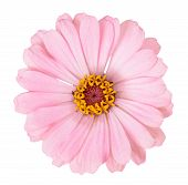 picture of zinnias  - A pink zinnia flower isolated on white - JPG