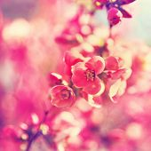 picture of toned  - pretty spring tree flowers blooming in the spring toned with a retro vintage instagram filter effect app or action - JPG