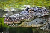 image of crocodile  - Big Brown and Yellow Amphibian Prehistoric Crocodile - JPG