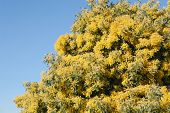 pic of mimosa  - Mimosa tree with yellow flowers in March - JPG