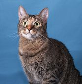 pic of blue tabby  - Tabby nice cat sitting on blue background - JPG