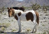 pic of paint horse  - A painted coated wild horse standing in the Nevada desert - JPG