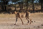 picture of cheetah  - A cheetah cross the road at Kgalagadi National Park South Africa - JPG