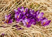 picture of rare flowers  - Purple flowers of crocuses with petals covered with pollen make their way through the thick dry grass - JPG