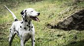 picture of spotted dog  - Nice dalmatian dog rrelaxed at the sunlight - JPG
