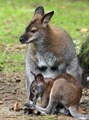 foto of wallabies  - A Wallaby mother with her child closeby - JPG