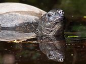 picture of terrapin turtle  - A giant turtle with his reflection in the water