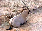 Gazelle Resting