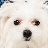 pic of maltese  - The maltese puppy dog on white background - JPG