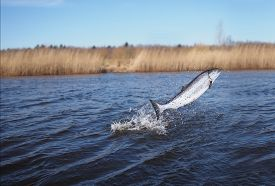 picture of fresh water fish  - jumping out from water salmon on river background - JPG