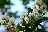 picture of crepe myrtle  - Crepe myrtle blooms in morning light - JPG