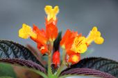 image of lantana  - Lantana flower - JPG