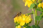 stock photo of mimicry  - Hoverfly - JPG