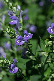 stock photo of lobelia  - Lobelia siphilitica or Blue Lobelia is a plant species within the Campanulaceae family - JPG