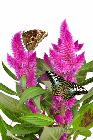 pic of spiky plants  - Cockscomb celosia spicata plant with butterflies on white background - JPG