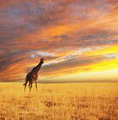 giraffe in savannah