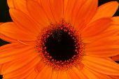 Orange Macro Gerbera Flower