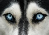 Dog Blue Eyes